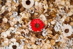 Fiore della sfuocatura intorno alla margherita rossa con il fondo delle foglie Fotografia Stock