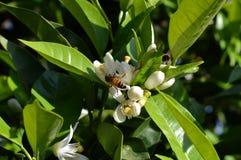 Fiore della Sicilia, primo piano dei fiori d'arancio con un'ape che raccoglie polline fotografia stock libera da diritti