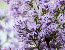 Fiore della siringa Linn Immagini Stock