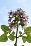 Fiore della sorgente Immagine Stock