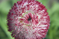 Fiore della sorgente Fotografie Stock Libere da Diritti