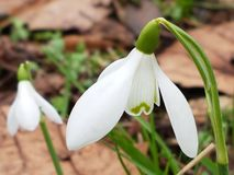 Fiore della sorgente Fotografia Stock