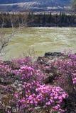 Fiore della sorgente e del fiume. Fotografie Stock Libere da Diritti