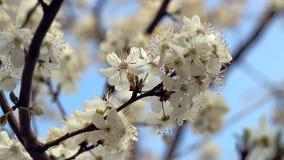 Fiore della sorgente Fiore che fiorisce sul ramo di albero closeup Cielo blu video d archivio