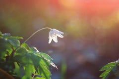 Fiore della sorgente I primi fiori Fotografia Stock