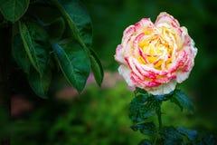 Fiore della sorgente I primi fiori Un fragrante è aumentato nel giardino dell'estate Fotografia Stock Libera da Diritti