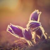Fiore della sorgente Natura con il prato ed il tramonto Concetto stagionale per primavera Fiore e sole di pasque meravigliosament Immagini Stock