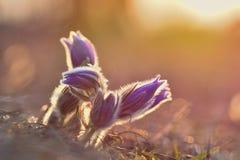 Fiore della sorgente Natura con il prato ed il tramonto Concetto stagionale per primavera Fiore e sole di pasque meravigliosament Fotografie Stock Libere da Diritti