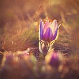 Fiore della sorgente Natura con il prato ed il tramonto Concetto stagionale per primavera Fiore e sole di pasque meravigliosament Fotografia Stock