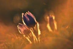 Fiore della sorgente Natura con il prato ed il tramonto Concetto stagionale per primavera Fiore e sole di pasque meravigliosament Immagine Stock Libera da Diritti