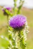 Fiore della sottofamiglia Carduoideae Fotografia Stock Libera da Diritti