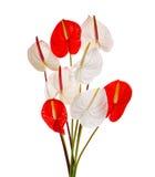 Fiore della spadice isolato su fondo bianco Immagine Stock