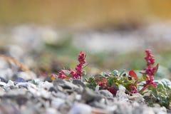 Fiore della spiaggia su una riva rocciosa Fotografie Stock Libere da Diritti