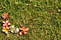 Fiore della stazione termale di plumeria del frangipane su erba verde Fotografia Stock Libera da Diritti