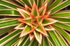 Fiore della stella con le foglie verdi Fotografie Stock Libere da Diritti