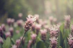 Fiore della Tailandia su estate Fotografia Stock Libera da Diritti