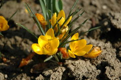 Fiore della terra Fotografie Stock Libere da Diritti