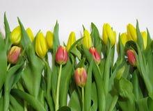 fiore della Tulipano-primavera un simbolo di risveglio e l'inizio della vita fotografia stock