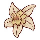 Fiore della vaniglia fotografia stock libera da diritti