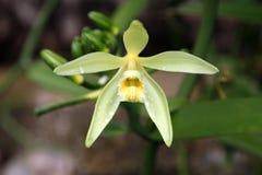 Fiore della vaniglia Immagini Stock