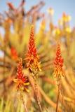 Fiore della vera dell'aloe Fotografia Stock
