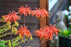 Fiore della vera dell'aloe Immagine Stock