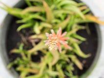 Fiore della vera dell'aloe Fotografia Stock Libera da Diritti