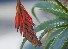 Fiore della vera dell'aloe Immagine Stock Libera da Diritti
