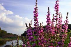 Fiore della verbena Fotografia Stock