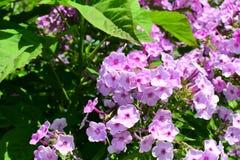 Fiore della verbena nel giardino fotografia stock