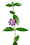 Fiore della vinca Fotografia Stock