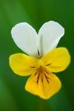 Fiore della viola Fotografie Stock