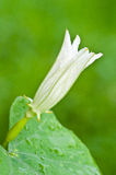 Fiore della zucca Fotografie Stock