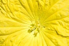 Fiore della zucca Fotografia Stock Libera da Diritti