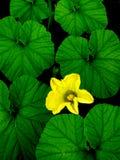 Fiore della zucca Fotografia Stock