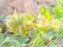 Fiore della zucca al sole Fotografia Stock