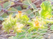 Fiore della zucca al sole Immagine Stock Libera da Diritti