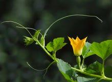 Fiore della zucca di spaghetti Fotografie Stock