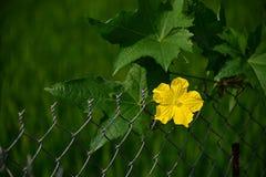 Fiore della zucca di spugna in giardino Fotografie Stock