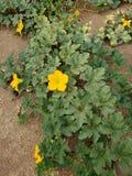 Fiore della zucca fotografie stock libere da diritti