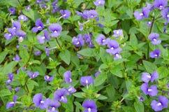 Fiore delle Hawai e fondo blu delle foglie verdi Fotografie Stock Libere da Diritti