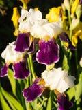 Fiore delle iridi nel giardino Immagine Stock