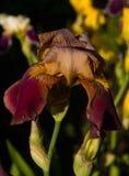 Fiore delle iridi nel giardino Fotografie Stock