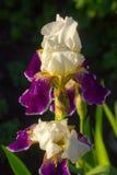 Fiore delle iridi nel giardino Fotografia Stock Libera da Diritti