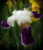 Fiore delle iridi nel giardino Immagini Stock Libere da Diritti