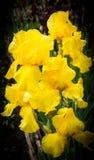 Fiore delle iridi nel giardino Fotografie Stock Libere da Diritti