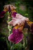 Fiore delle iridi nel giardino Fotografia Stock