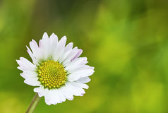 Fiore delle margherite Fotografia Stock Libera da Diritti