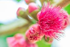 Fiore delle melarose sull'albero Fotografia Stock