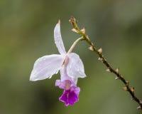 Fiore delle orchidee Fotografia Stock Libera da Diritti